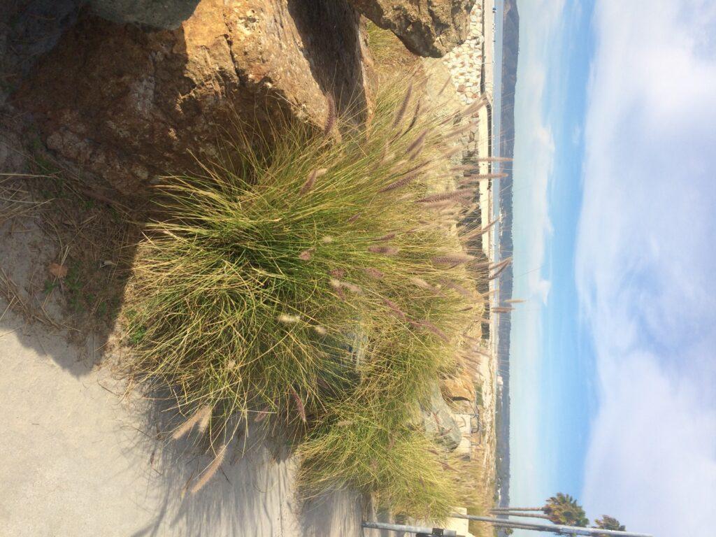 Beach Plants Coronado Times