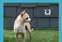 paws of coronado pet of the week kiki a dog for adoption