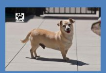 biscuit a dog for adoption is paws of coronado pet of the week