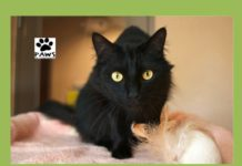 jordan a cat for adoption from paws of coronado is the pet of the week