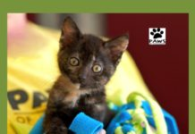 mackenzie a tortie kitten for adoption is the paws of coronado pet of the week