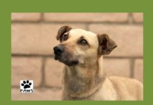 paws pet of the week ozzie a dog for adoption