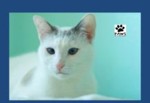 sprinkles a siamese blend cat for adoption is the paws of coronado pet of the week