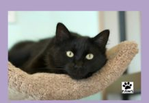 lauren a cat for adoption is this weeks paws of coronado pet of the week