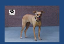 chihuahua for adoption macy is the paws of coronado pet of the week