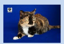 paws of coronado pet of thew week is dixie a lovely tortie cat for adoption