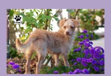 paws of coronado pet of the week erika a dog for adoption