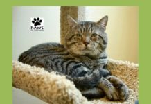 butch a tabby cat for adoption is the pet of the week at paws of coronado