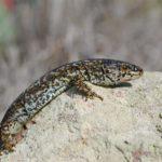island_night_lizard_wikimedia