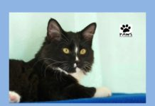 domino the tuxedo kitten for adoption is the paws of coronado pet of the week
