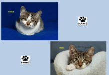 pets of the week freckles and pongo kittens for adoption from paws of coronado