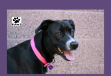 laila a dog for adoption is the paws of coronado pet of the week 01.18.17