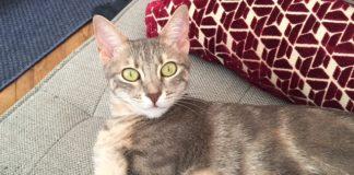 Lost cat Luna