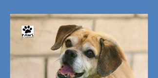 paws of coronado pet of the week for 02/08/17 is judd a puggle for adoption