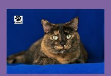 paws of coronado presents zoey a tortoiseshell cat for adoption as the pet of the week