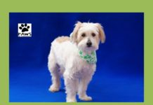 dog for adoption bellamy is the paws of coronado pet of the week 03.08.17