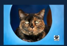 tortie cat bonnie is this week paws of coronado pet of the week