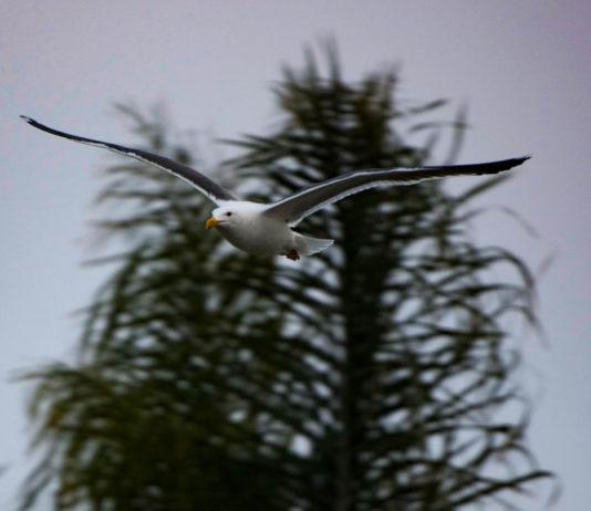 Brian Lippe Coronado Cays Seagull