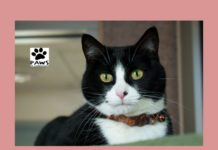 tuxedo cat for adoption daisy is the paws of coronado pet of the week