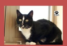paws of coronado pet of the week cat for adoption pepe le mew
