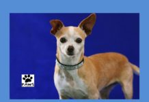 paws of coronado pet of the week 04.19.17 is cola a chihuahua for adoption