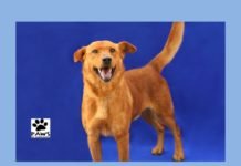 paws of coronado pet of the week 04.05.17 mack a dog for adoption