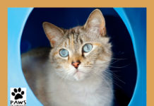 paws of coronado pet of the week is stella a cat for adoption 04.12.17