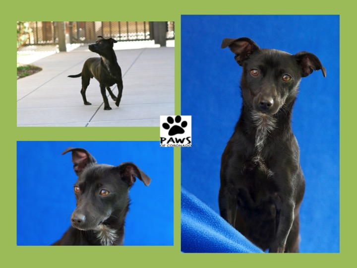 05.17.17 paws of coronado pet of the week is carlie a small dog for adoption