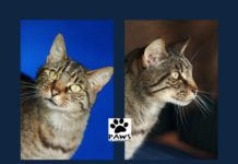the paws of coronado pet of the week 05.10.17 is kai an affectionate brown tabby cat for adoption