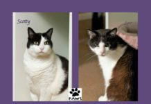 paws of coronado pets of the week leo and scotty two sweet tuxedo cats for adoption