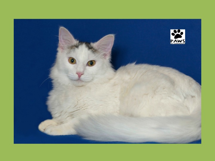 clinton a cat for adoption is the paws of coronado pet of the week 06.07.17