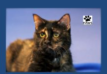 062817 pet of the week gracie a tortie cat for adoption