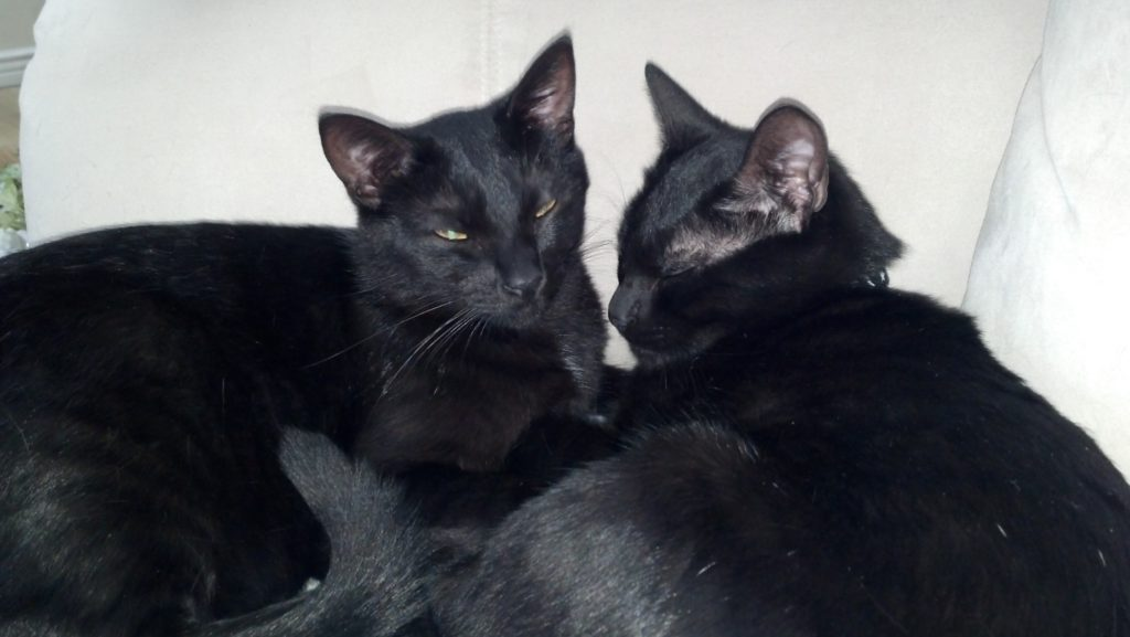 foster cats miney and mo ptsd need a home