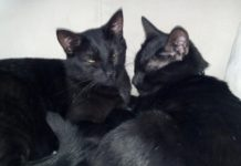 Foster cats Miney and Mo with PTSD need a home