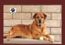 06.14.17 paws of coronado pet of the week is sarge a retriever dog for adoption