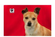 07.26.17 paws of coronado pet of the week paco a chihuahua for adoption
