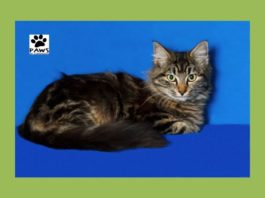 07.19.17 paws of coronado pet of the week reagan a maine coon cat for adoption