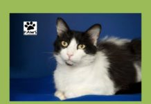 the tuxedo cat for adoption betty is the paws of coronado pet of the week 08.30.17