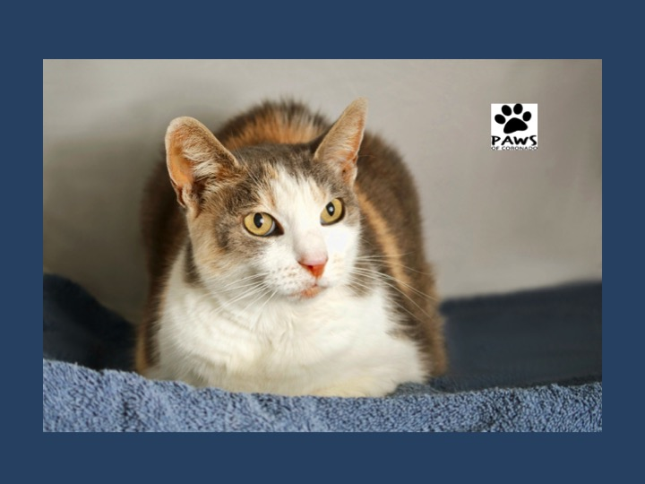 08.16.17 paws of coronado pet of the week chelsea a dilute calico cat for adoption