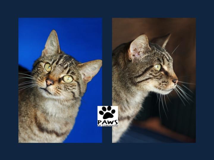 08.02.17 paws of coronado pet of the week kai a chatty cat for adoption