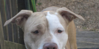 pit bull behind fence