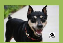 09.13.17 paws of coronado pet of the week dolly a min pin dog for adoption