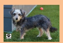 paws of coronado pet of the week 10.04.17 azalea a dog for adoption