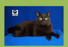 10.11.17 paws of coronado pet of the week ninja a cat for adoption is wonderful!