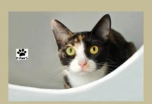 paws of coronado pet of the week 10.18.17 rosemary a young tortie cat for adoption