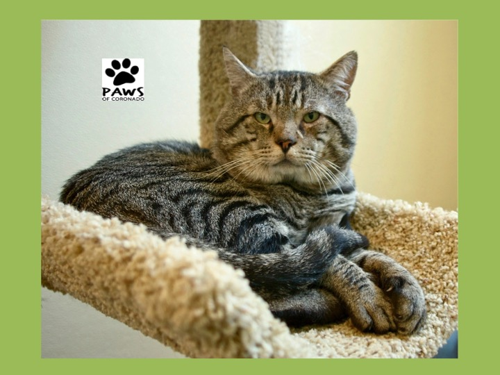 11.22.17 paws of coronado pet of the week butch a cat for adoption
