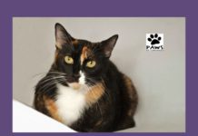 11.0.17 pet of the week linda a tortie cat for adoption from paws of coronado