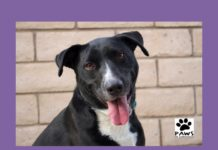 meeka a dog for adoption is the paws of coronado pet of the week for 11.29.17