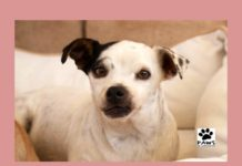 paws of coronado pet of the week 12/27.17 angelica a chihuahua for adoption