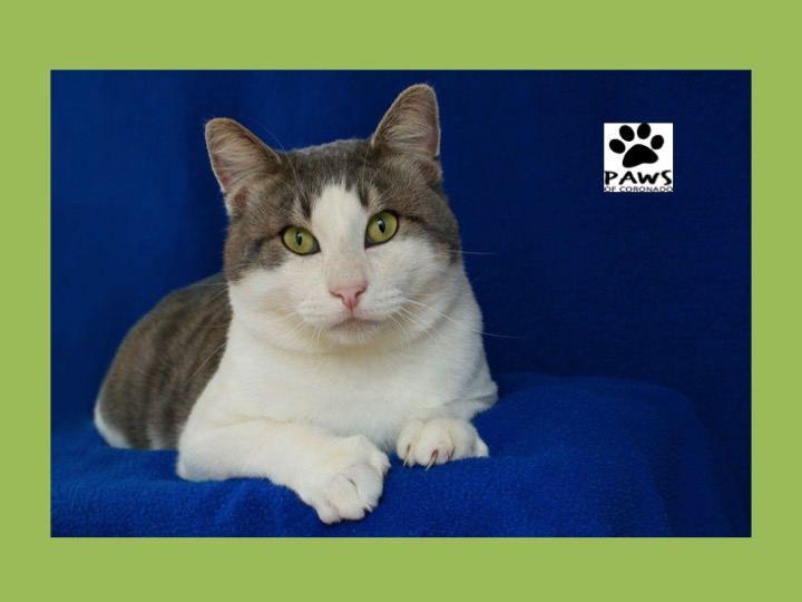 12.06.17 paws of coronado pet of the week teo a cat for adoption